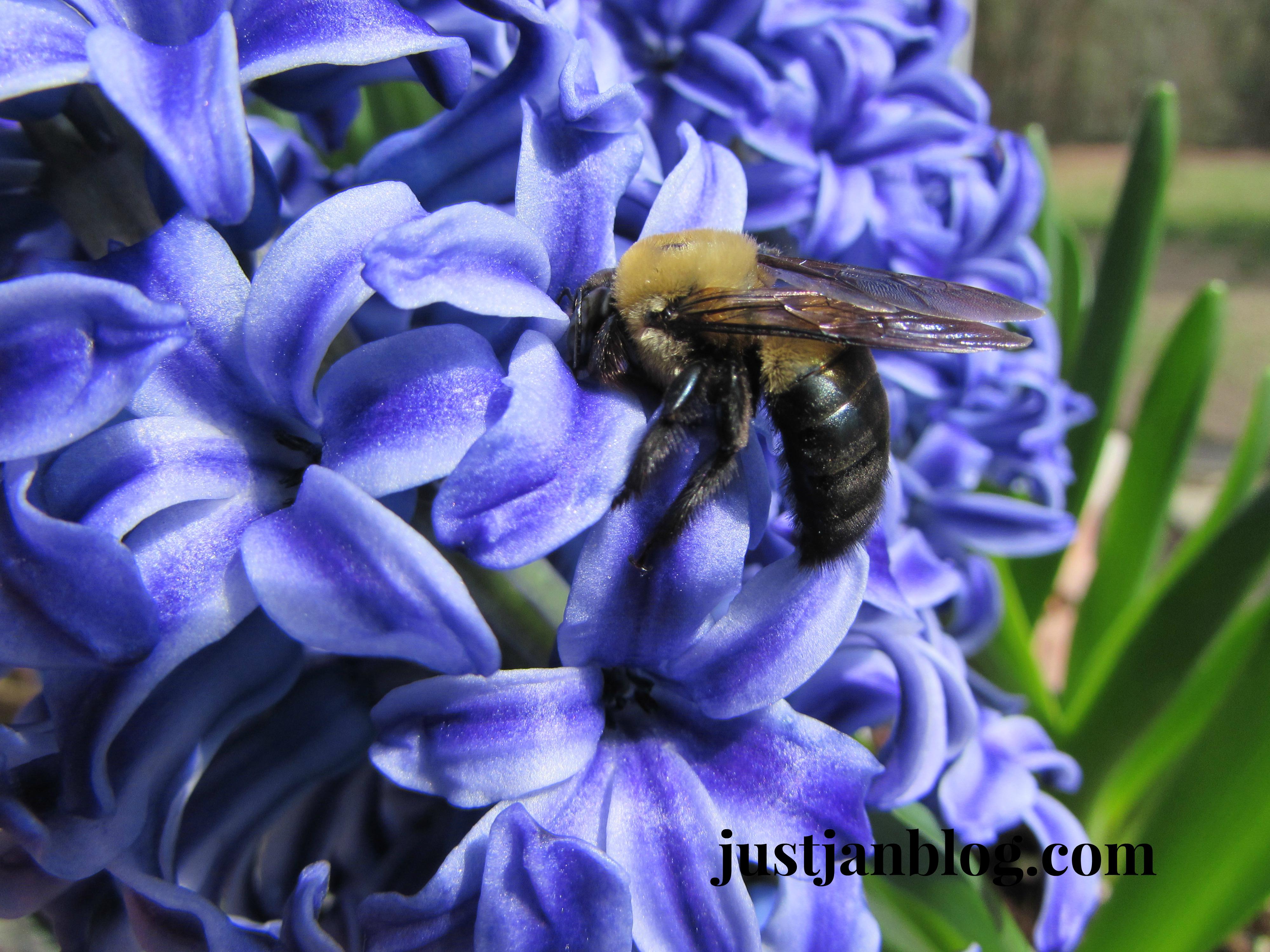 bluehyacinthbee