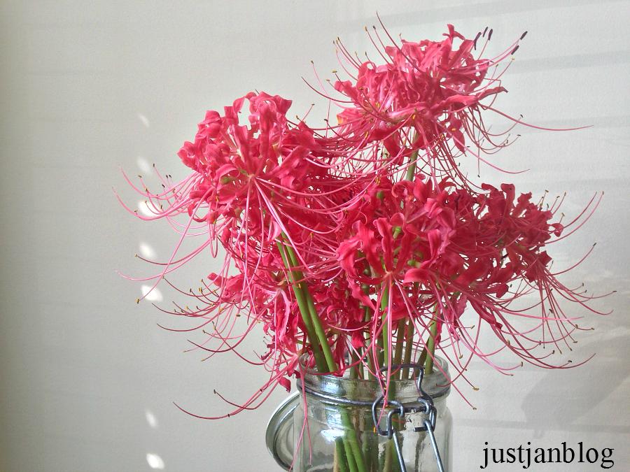 spiderlilies