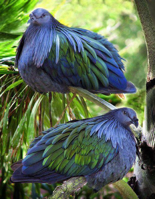 rareNicobar Pigeonsflickr
