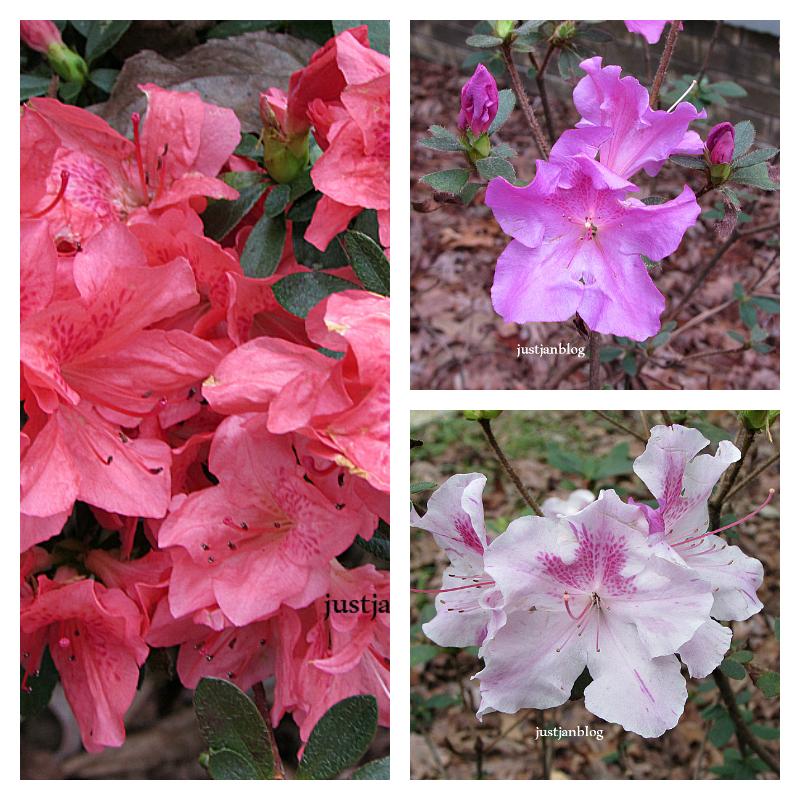 azaleas collage