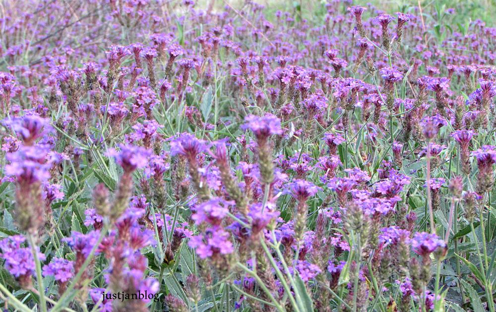 small field of purple