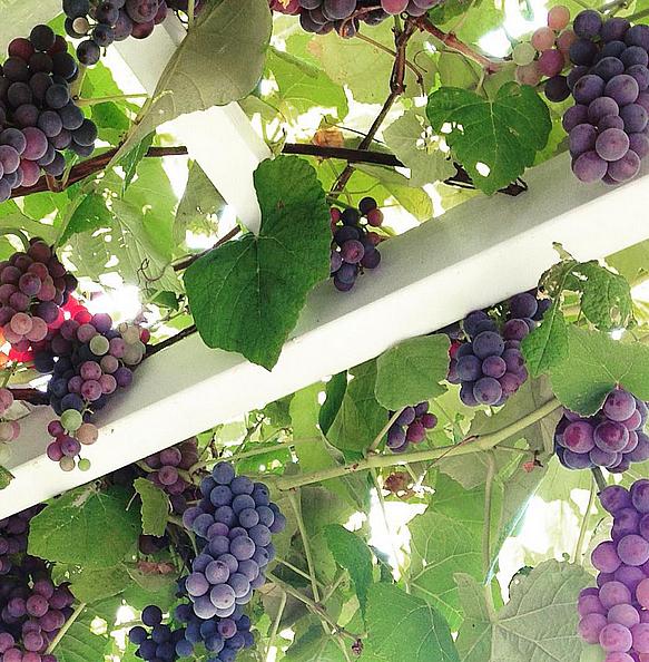 Jessika Goranson Lewand grapes